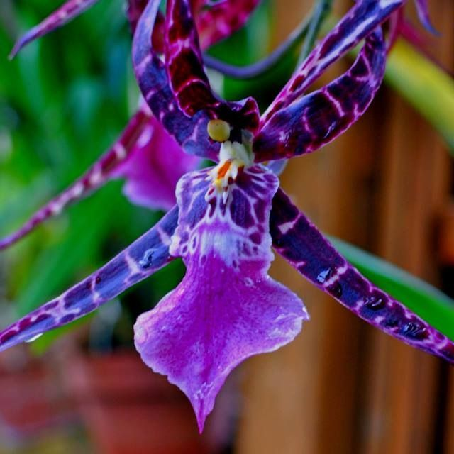 Exotic Orchids| Serafini Amelia| Amazing Purple Flowering-Orchid