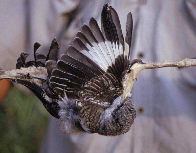 Menangkap burung dengan pulut (express.co.uk)