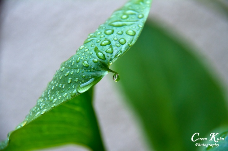 Raindrops on Lilly Leaf