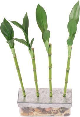 Cómo cuidar de un bambú chino de la suerte | eHow en Español