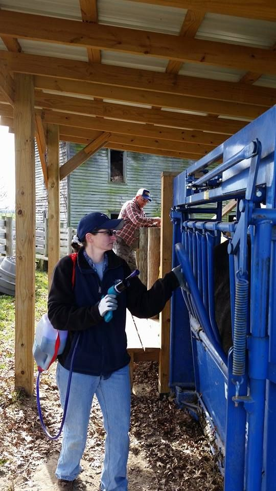 Carol helps to work cattle in their Squeeze Chute