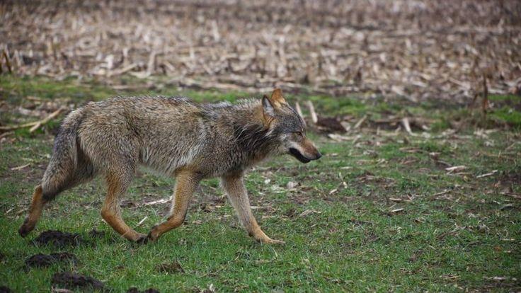 Aus wenigen Metern Entfernung gelang Christoph Elbert nahe Meppen Anfang März dieses Foto des damals in Niedersachsen umherwandernden Wolfes. Jetzt weiß man: Es ist ein Rüde. Foto: Christoph Elbert