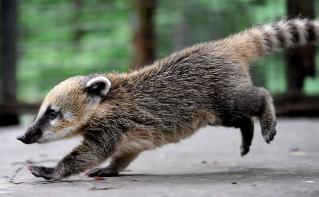Coatis are so cute!  We saw one at an exotic pet store earlier today and I fell in love with her.  They are so sweet, cute, and playful