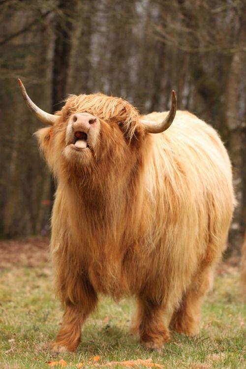 hughhighlander:  burp. carrot-eating highland coo via agnes le floch. hugh highlander, highland cow
