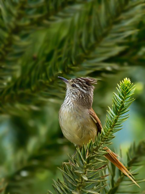 Foto grimpeiro (Leptasthenura setaria) por Júlio Silveira | Wiki Aves - A Enciclopédia das Aves do Brasil