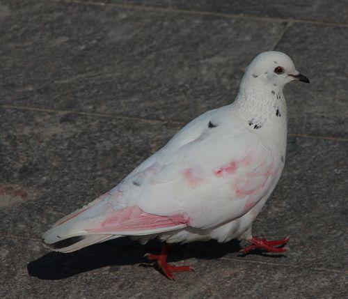 """Colombo """"rosa"""". Di rondini a passeggio e colombi rosa - CSI MultiMedia"""