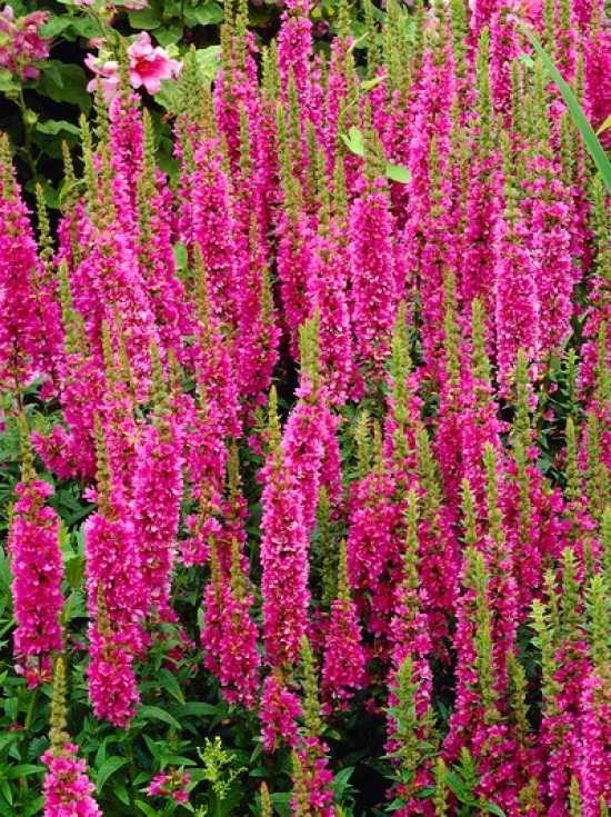 Lythrum salicaria 'Robert' / Blut-Weiderich