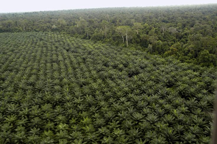 Palm Oil plantation next to virgin rainforest, Borneo. Palm oil is the largest threat to the rainforest of Borneo.