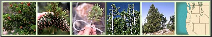 "NORTHWEST PINE IDENTIFICATION // WHITEBARK PINE: -Size: Usually under 50' tall and 2' in diameter. Often distorted or shrub-like.  -Needles: Occur in bundles of 5; 1-3"" long; faint, white lines on all surfaces.  -Fruit: Small, woody cones, 2-3"" long; nearly round; thick cone scales with no prickles.  -Bark: Thin, scaly, and grayish throughout its life // http://oregonstate.edu/trees/conifer_genera/spp/pine_spp.html"