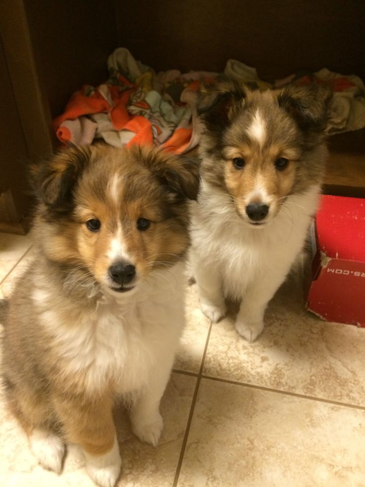 Sheltie puppies, Callie is on the left, Kirby is on the right