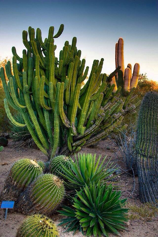 The Desert Botanical Garden Is A 140 Acre Botanical Garden Located At 1201  N. It Beautiful When All The Cactus Are Blooming.