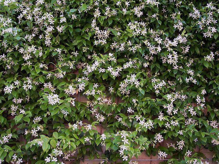Trachelospermum jasminoides HRM1 - Trachelospermum jasminoides - Wikipedia, the free encyclopedia