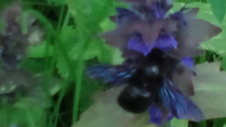 Гигантская фиолетовая пчела. Редкий, исчезающий вид.  Giant purple bee. ...