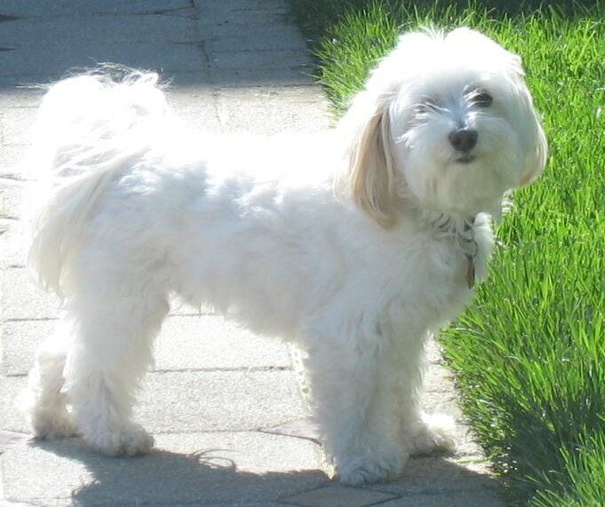 """Cute Havanese Bichon, just like my own dog, """"Ginger Biscuit"""". *squee* :3"""