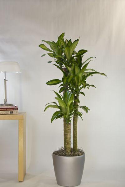 Houston's online indoor plant & pot store - Corn Plant