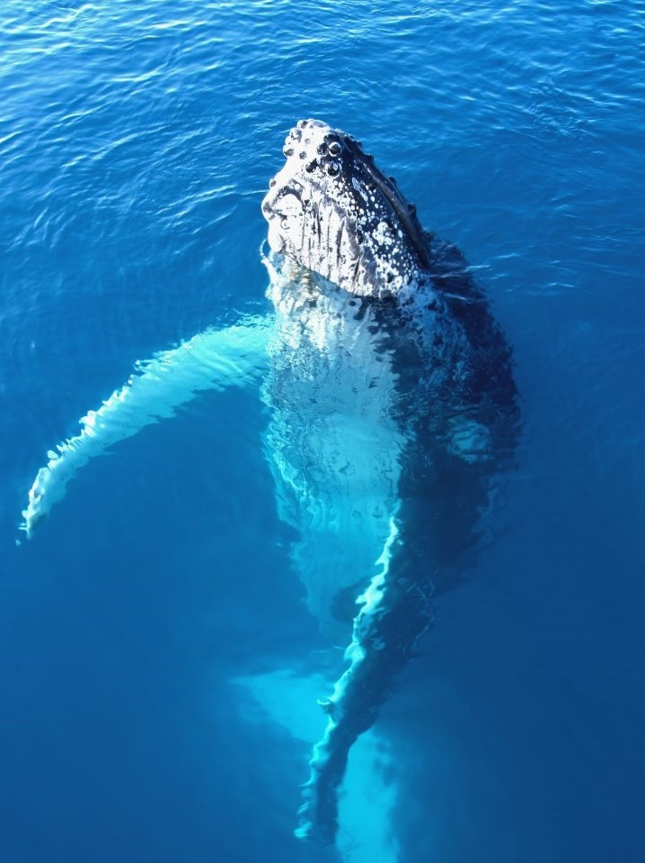 Best A Whale Images On Pinterest Whales Orcas And Humpback - Rare moment 40 ton whale jumps completely out of the water