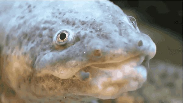 The Axolotl.   Are These The Ugliest Animals In The World?