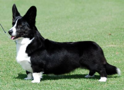 Cardigan Welsh Corgi (especially the black and white)