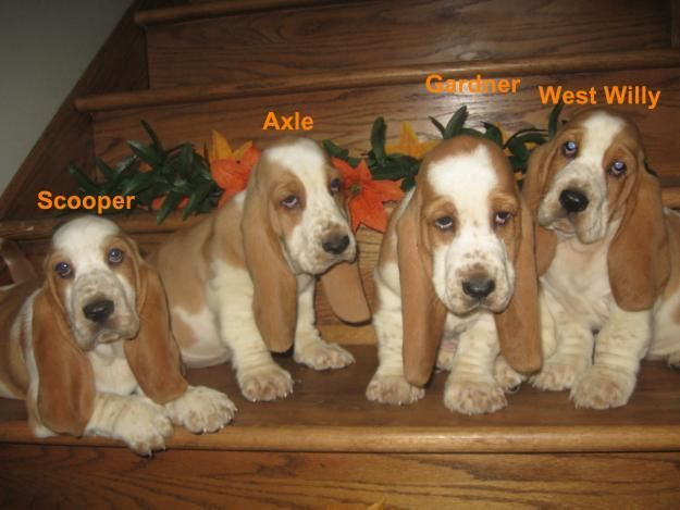 Miniature Basset Hound | miniature basset hounds - Google Search | Hounddogs