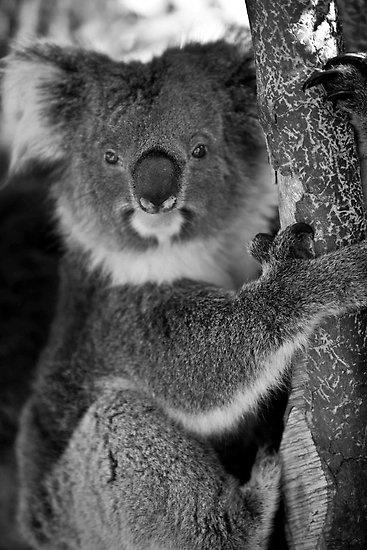 Perth - Caversham Wildlife Park #perth #swanvalley #caversham #koala #westernaustralia