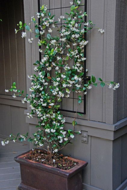 Star jasmine in planter with tellis hung on the wall just above for it to climb…