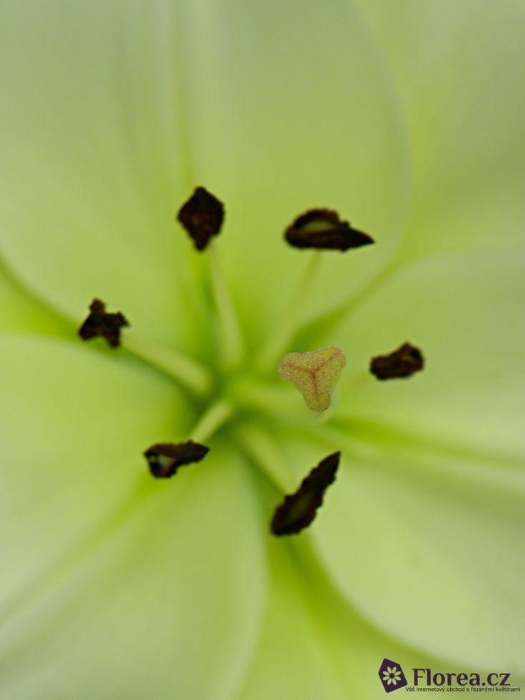LILUM LA LITOUWEN http://www.florea.cz/lilium-1 #lilium #flowers
