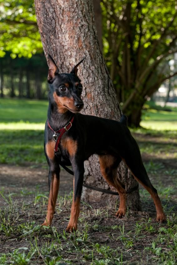 Although the Miniature Pinscher is diminutive, it is not a miniaturized version of the Doberman Pinscher as its name and its looks might lead you to believe. It's generally thought that the breed was developed using Italian Greyhounds, Dachshunds and German Pinschers as the foundation stock.  Min Pins typically stand 10 to 12 1/2 inches tall.