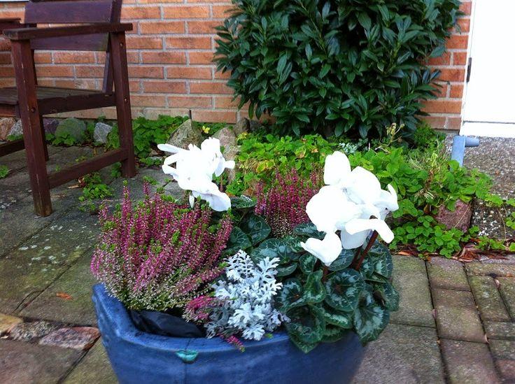 #Cyklamen är den blomma som klarar av höst väder i...