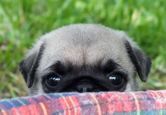 642 Best I Need A Pug Images On Pinterest Doggies Baby