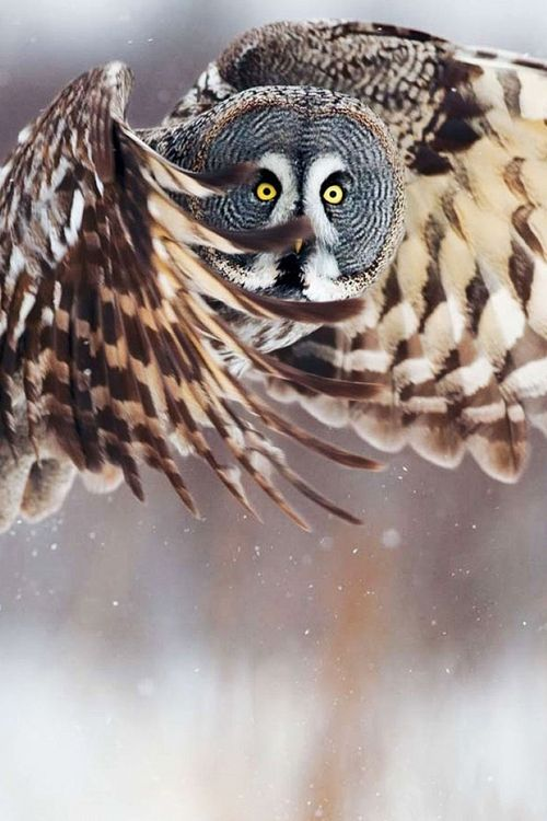 Amazing wildlife -  Great Grey Owl in flight photo #owls