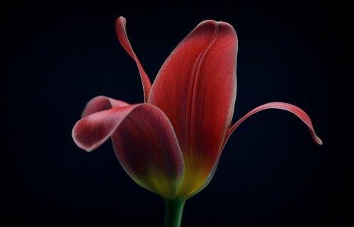 First tulip by  Lotte Grønkjær