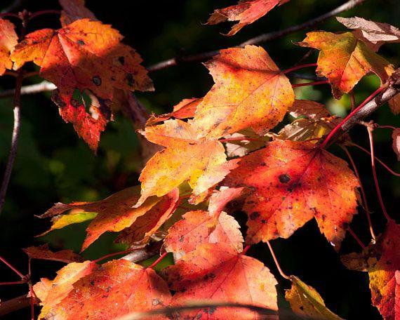 Maple Leaves Photography Autumn Photography Fine Art