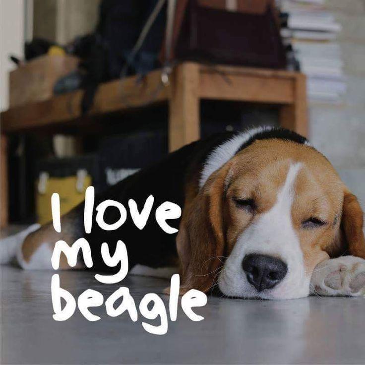 I Love My Beagles …
