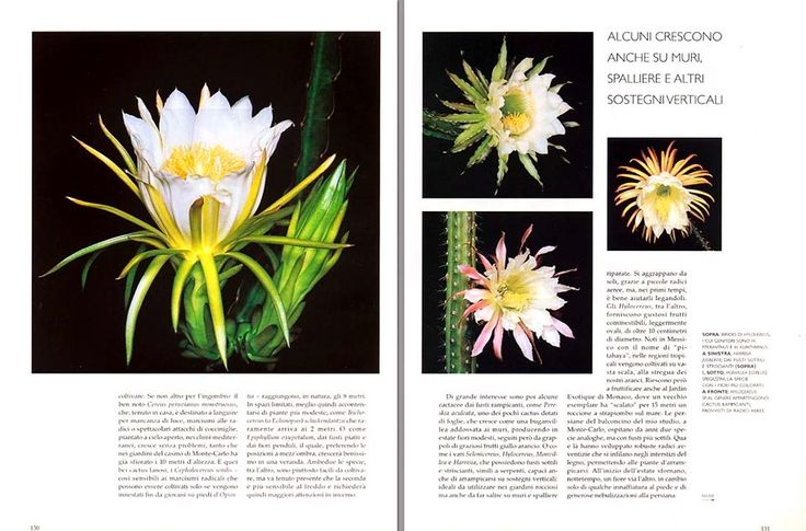 Cactus della notte : fioriscono appena fa buio e cadono all'alba