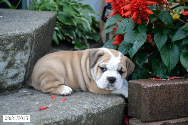 Beabull Puppy for Sale in Ohio