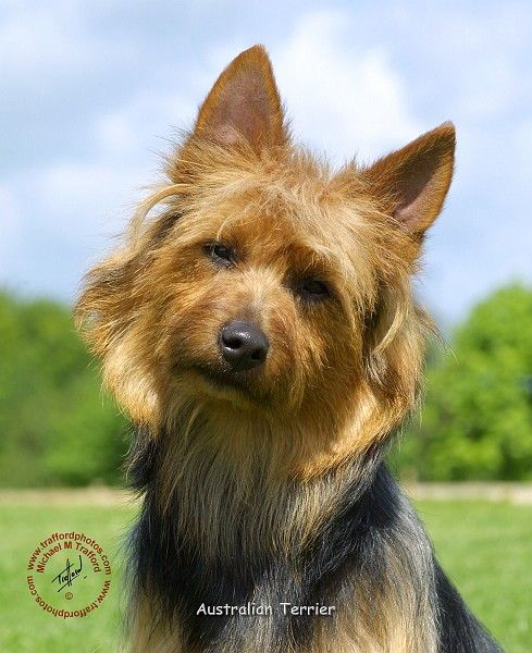 Australian Terrier dog art portraits, photographs, information and just plain fun. Also see how artist Kline draws his dog art from only words at drawDOGS.com #drawDOGS http://drawdogs.com/product/dog-art/australian-terrier-dog-portrait-by-stephen-kline/