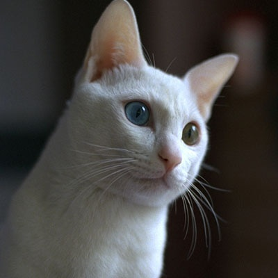 Image result for white cat images 400x400