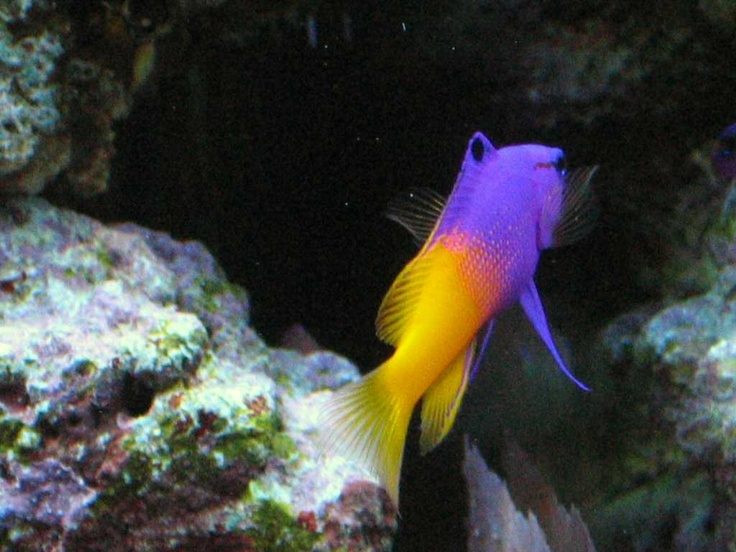 17 best images about goby fish on pinterest salts all for Coolest saltwater aquarium fish