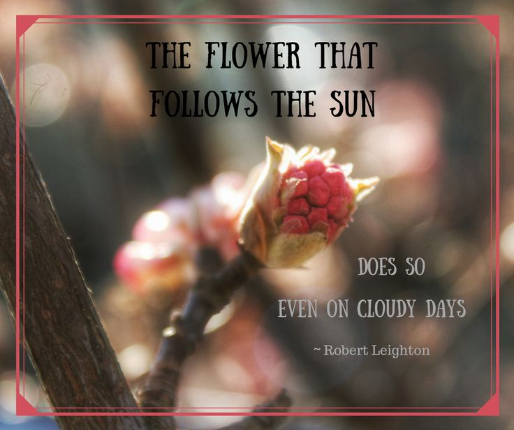 The flower that follows the sun does so even in cloudy days... quote by Robert Leighton.  From earthly pursuits instagram account with #3awesomethings about Bodnant viburnum