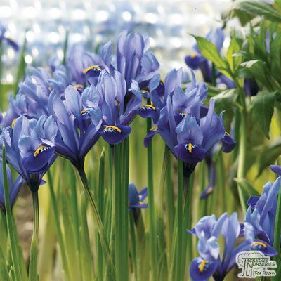 Iris reticulata - Harmony (Bulbs) Pack Quantity: 20 bulbs Use: Plant in borders and gardens; suitable as cut flowers and for naturalizing Irrigation: Water and fertilize regularly after planting and during growth