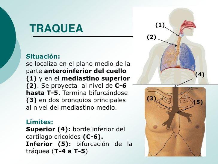 (1) TRAQUEA                                      (2)Situación:se localiza en el plano medio de laparte anteroinferior del ...
