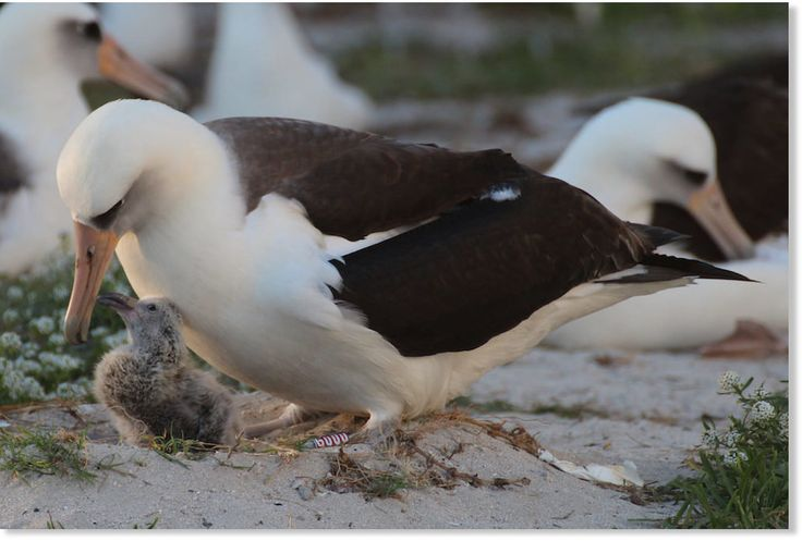The world's oldest known wild bird just added a new chick to the family — her 40th one, experts say. The Laysan albatross (Phoebastria immutabilis), named Wisdom, is at least 65 years old but shows no signs of slowing down. Wildlife officials at...