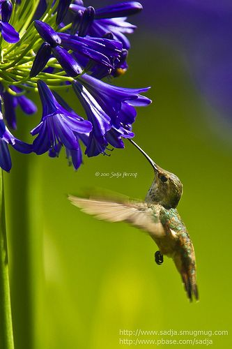 Allen's Hummingbird feeding on Agapanthus africanus