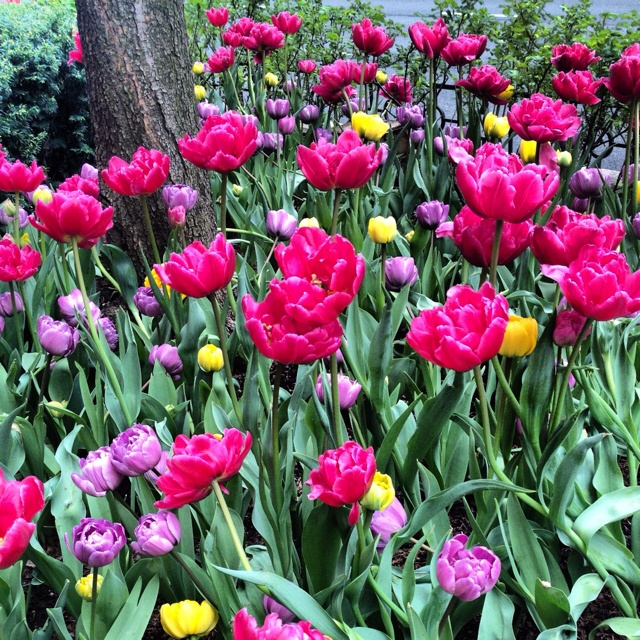 Chicago Tulips!