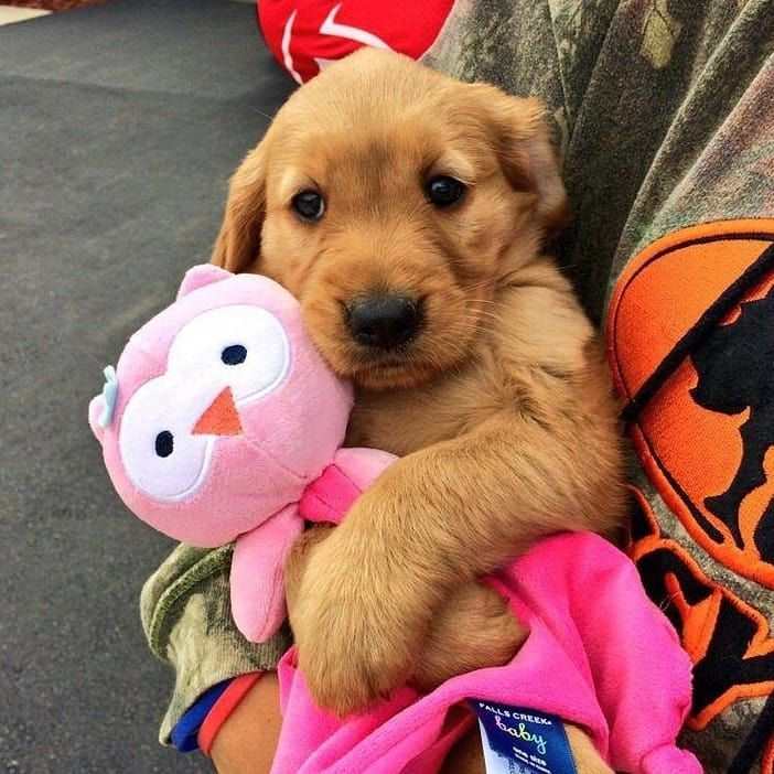 Golden Retrievers Puppies On Instagram Dogoftheday