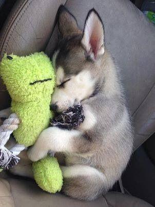 Implicita:Un cachorro con un peluche Explicita:Cariño,ternura y amor hacia ellos