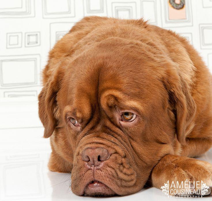 Whisky, French Mastif/Golden Dogue de Bordeaux www.ameliecousineau.com/blog #frenchmastif #frenchmastiff #doguedebordeaux #dog #chien