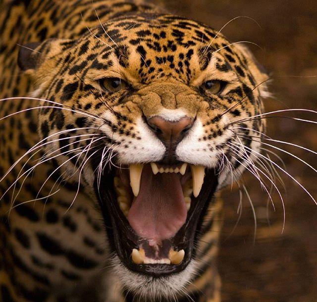 Cheetah Pic Hdpic Animalhdpic Big Cats Leopard Wallpaper Animals Leopard roar wallpaper 1920x1080 jpg