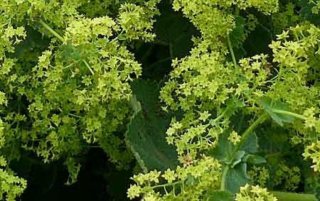 Alchemilla mollis, au soleil ou à la mi-ombre. D'allure vagabonde absolument ravissante. Plante utilitaire; utilisée au moyen âge pour contrer douleurs menstruelles et les diarrhées. Peu tolérer l'ombre sèche sous les arbres si on lui apporte un peu de soleil et d'eau.