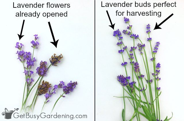 Lavender Is A Beautiful Herb Plant With Purple Flowers That Are Prized For The Calming Fragrance Whether Yo Lavender Plant Harvesting Lavender Lavender Garden